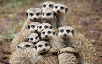Meercats - True Friends